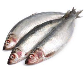 herring1