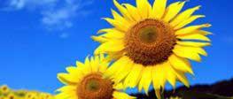 słonecznik na tle niebieskiego nieba