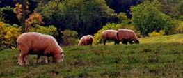 Owce na łące w Dani, skąd pochodzi karma Mills Farm