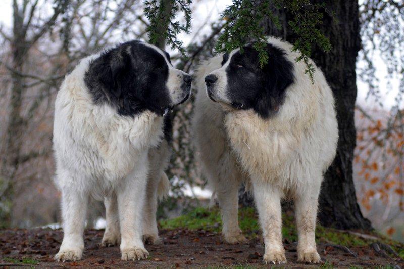 mills-farm-karma-dla-psow-doroslych-duzych-ras Karmienie psów dorosłych dużych ras Porady żywieniowe